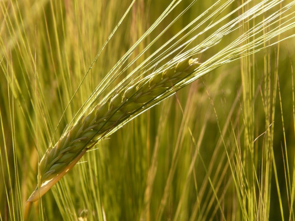 barley-field-8230 (Custom)